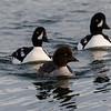 Barrow's Goldeneye ducks swim in Lake Myvatn in northern Iceland.