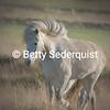 Windblown Mane, Icelandic Horse