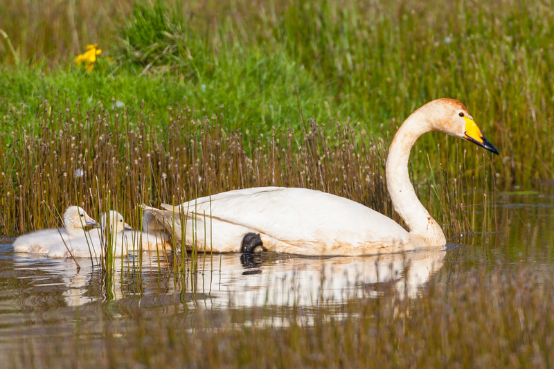 Whooper swan with cygnets in Iceland.