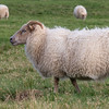 Icelandic Sheep - these sheep are renowned for there incredible wool