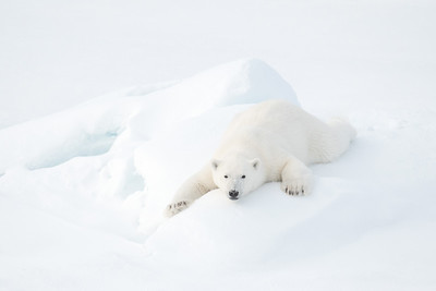 Polar Bear Series