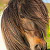 Icelandic Horse in southern Iceland.