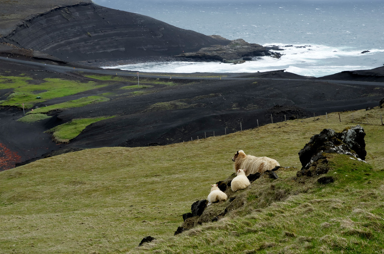 Westman Islands Sheep