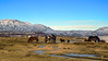 Icelandic Horses -  Near	Pingvellir National Park, Iceland - Doug Beezley - March 2014