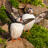 The Atlantic Puffin, a pelagic seabird, shown here in breeding colors. Latrabjerg peninsula, Iceland.