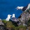Northern Fulmars guard a nest. Snaefellsness peninsula in western Iceland.