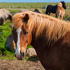 Icelandic Horses in northeastern Iceland.