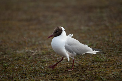 Brown-headed Gull, Iceland