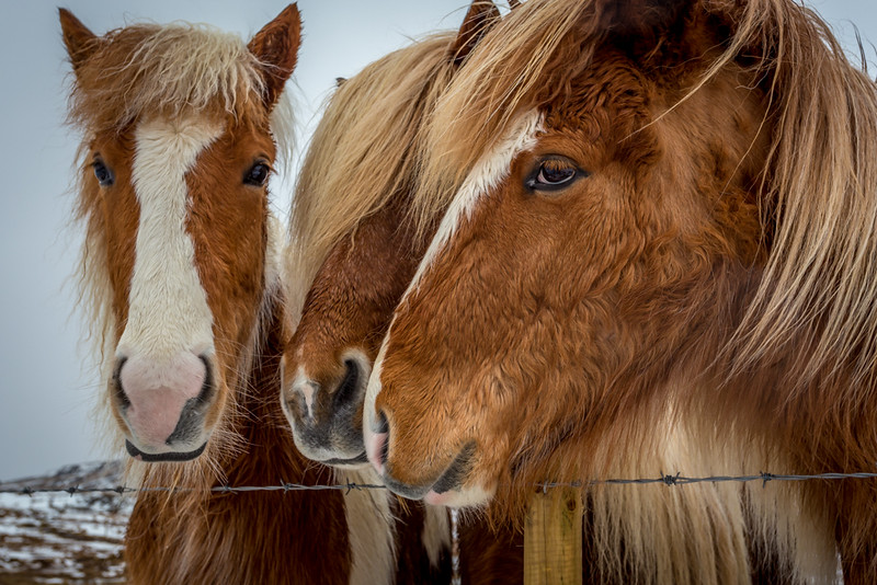 Icelandic Horse Trifecta - Along the Ring Road, (Route 1) -  Iceland - Joe Maciejko - February 2015