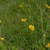 wild buttercup flowers