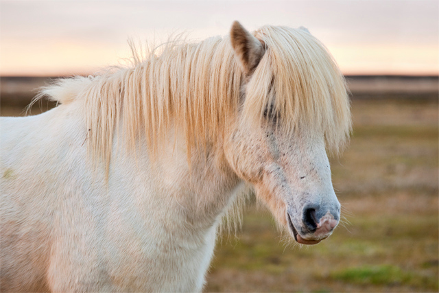 White horse in Iceland