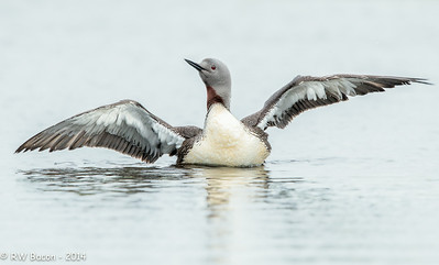 Red-throated Loon Flap-1