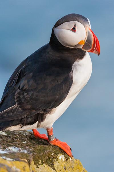The Atlantic Puffin, a pelagic seabird, shown here in breeding colors. Latrabjerg peninsula, Iceland.