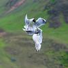 Black-headed Gulls in flight in Iceland.