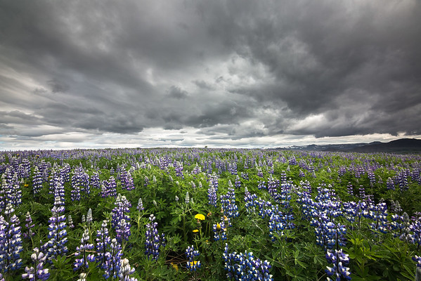 Sea of Lupine