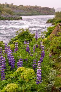 Lupines along the Tungufljot River near Foxafoss waterfall