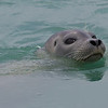 Harbor Seal swimming in Jokulsarlon glacial lake in southern Iceland.