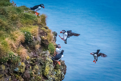 Puffins Latrabjarg Cliffs