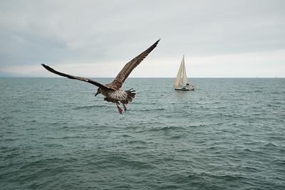 Gull in flight - Sailboat going nowhere