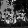 Hawaiian Palms - B&W