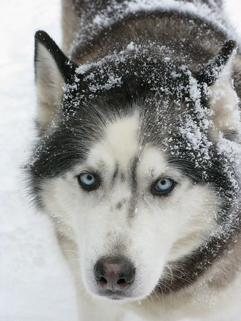 Snow Covered Siberian Husky