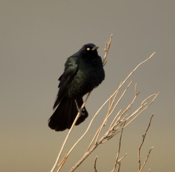 Brewer`s Blackbird  Crowley Lake 2013 05 21 (1 of 1).CR2