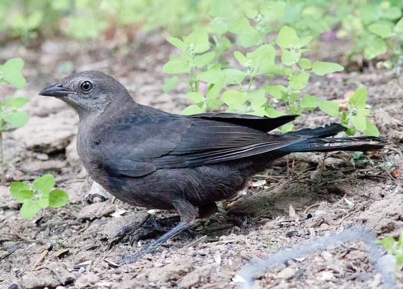 Brewer`s Blackbird  Mammoth Lakes 2011 07 29-7.CR2