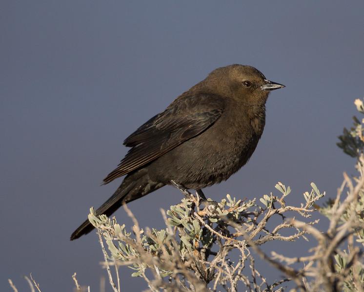Brewer`s Blackbird Crowley Lake 2014 04 23-1.CR2