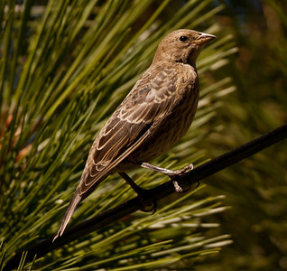 Brown-Headed Cowbird Mammoth Lakes 2010 08 15-1.CR2