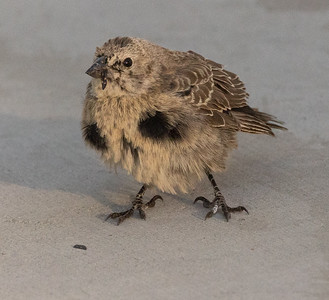 Brown-headed Cowbird2021 09 04-2.CR3