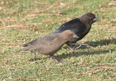 Brown- headed Cowbird  Coso Junction 2020 10 11.CR2.CR2-3.CR2