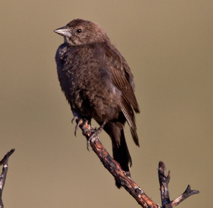 Cowbird  Owens River Road Ca 2011 08 01-3.CR2