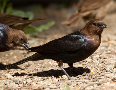 Brown -headed Cowbird Mammoth Lakes 2013 05 21 (2 of 2).CR2