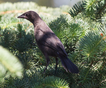 Common Grackle Billings Montana 2015 -06-12-2.CR2