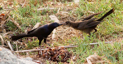 Great-Tailed Grackle  Oceanside 2011 07 09-1.CR2