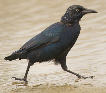 Great-tailed Grackle San Luis Rey River Oceanside 2012 09 13 (2 of 2).CR2