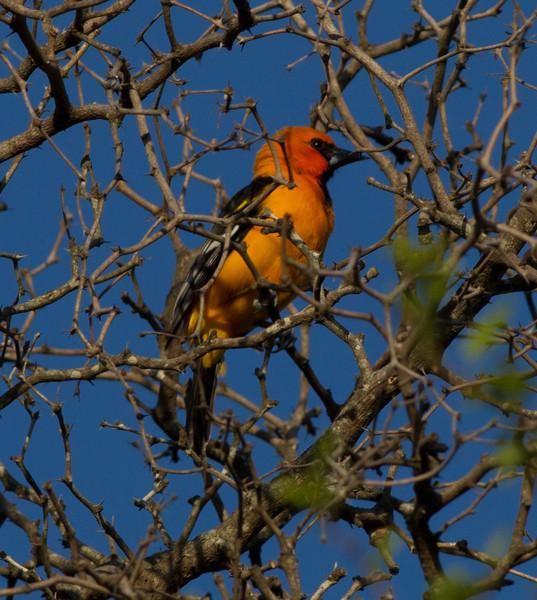 Altamira Oriole  Santa Ana NWR Texas 2012 03 22.CR2