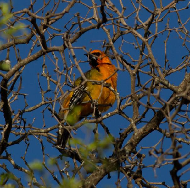 Altamira Oriole  Santa Ana NWR Texas 2012 03 22-1.CR2