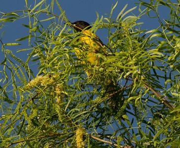 Audubon`s Warbler  South Texas 2012 03 23-2.CR2