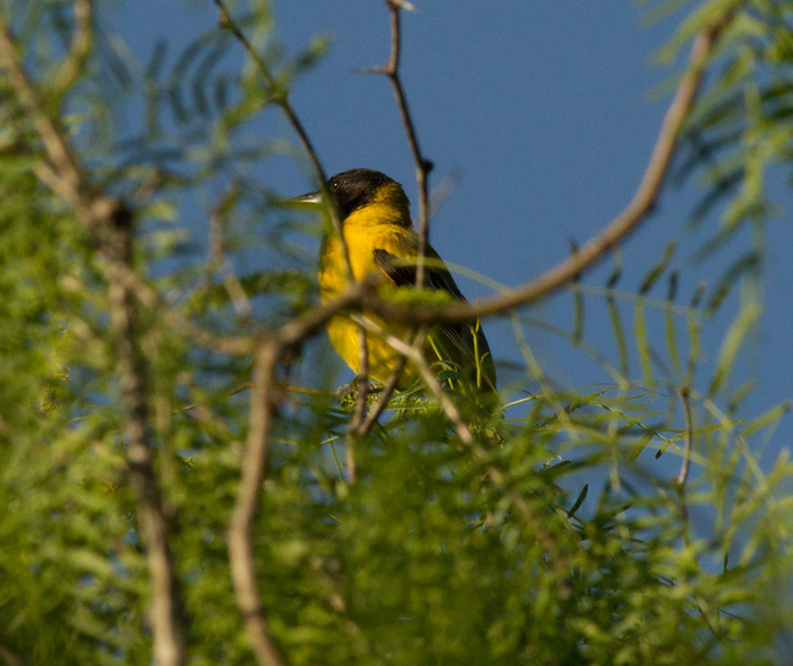 Audubon`s Warbler  South Texas 2012 03 23-3.CR2