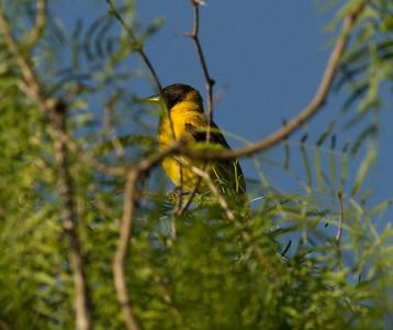 Audubon`s Warbler  South Texas 2012 03 23-3.CR2