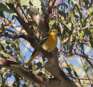 Baltimore Oriole San Diego Botanical Gardens 2016 11 07-1.CR2