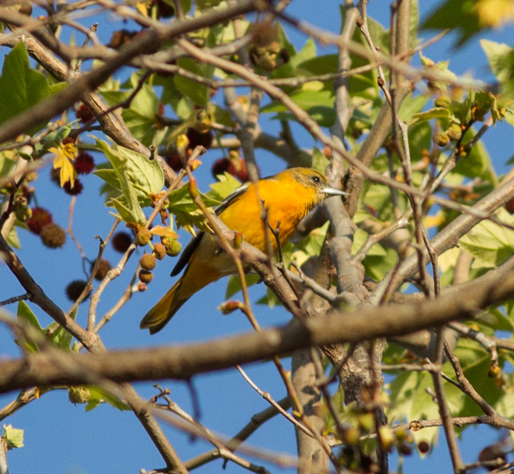 Baltimore Oriole Carlsbad 2015 02 26-1.CR2
