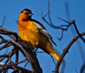 Bullock`s Oriole Camp Pendleton 2010 05 04-3.CR2