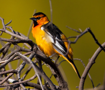 Bullock`s Oriole Camp Pendleton 2010 05 04-1.CR2