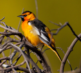 Bullock`s Oriole Camp Pendleton 2010 05 04-2.CR2