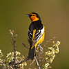 Bullock`s Oriole  Crowley Lakes 2013 05 21 (1 of 2).CR2 (1 of 1).CR2