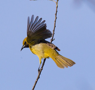 Hooded Oriole Camp Pendleton 2017 04 22-1.CR2