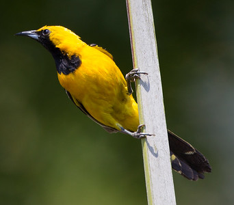 Hooded Oriole Leucadia 2017 07 15-4.CR2