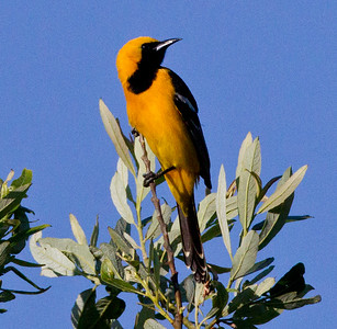 Hooded Oriole Carlsbad 2011 05 02 -1.CR2